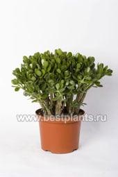 http://www.bestplants.ru/images/gallery/1-34.jpg