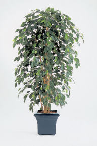 Искусственные растения: Фикус Нитида